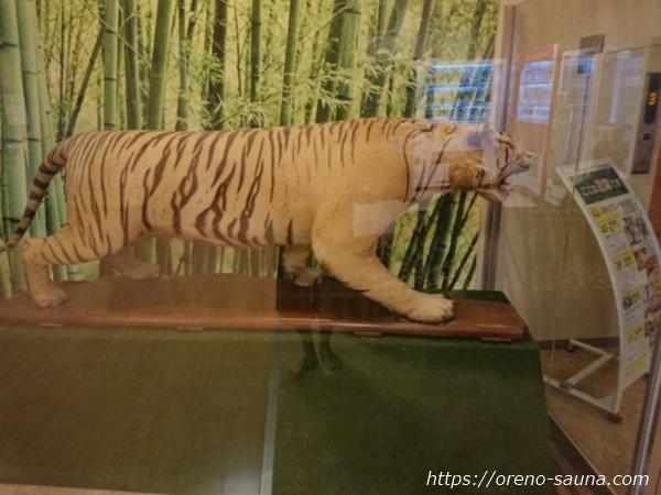 石川県金沢市「テルメ金沢」虎のはく製画像
